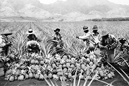 Pineapple Plantation in Hawaii - Vintage Photograph (36x54 Giclee Gallery Print, Wall Decor Travel Poster)